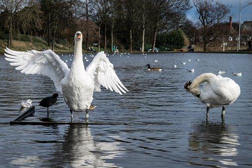 Swans, Pond, Lake, Stretching, Wing, Water, Bird