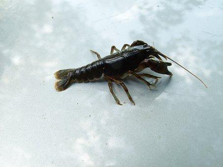 Cambarus Bartonii, Crayfish, Appalachian Brook Crayfish
