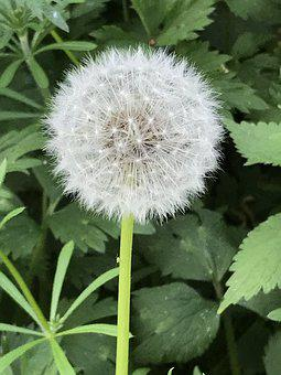 Dandelion, Wishes, Spring, Nature, Flower, Seed, Plant