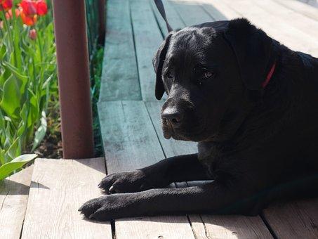 Dog, Black Dog, Labrador, Purebred, Pets, Devotion
