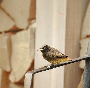 Bird, Redstart, Winged, Birds, Feathered, Fauna