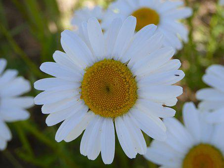 Flower Meadow, Magerite, Summer, Blossom, Bloom, Flower