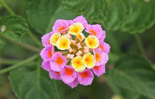 Lantana, Dicotyledonous Flowering Plants