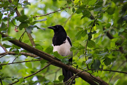 Magpie, Bird, Nature, Animal, Black, White, Wildlife