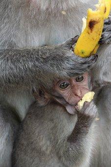 Monkey, Baby, äffchen, Ape Baby, Monkey Child