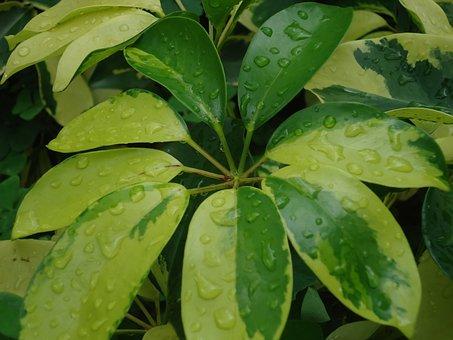 Plant Cheflera, Nature, Green, Plant, Plant Green