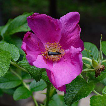 Red Fire Beetle And Spider In Rose