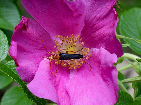 Red Fire Beetle And Spider In Rose, Close-up