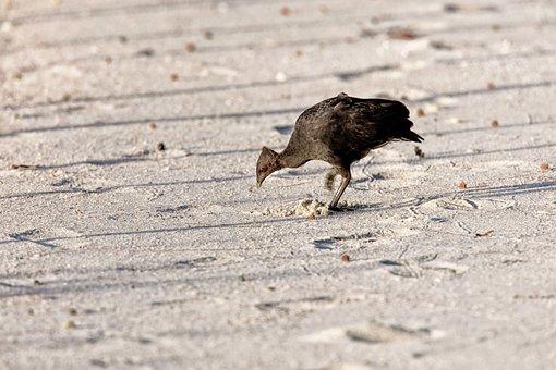 Bird, Tool Clean, Megapodius, Sandy, Bait For