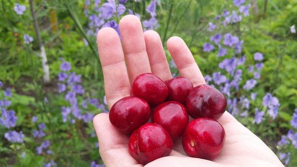Cherry, Berry, Spring, Summer, Garden, Fruit