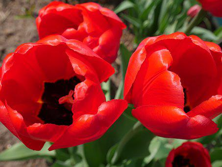 Red Tulips, Tulips, Bright Colors, Red Flowers, Spring
