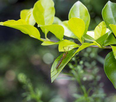 Mosquito, Insect, Macro, Young, Nature, Leaf