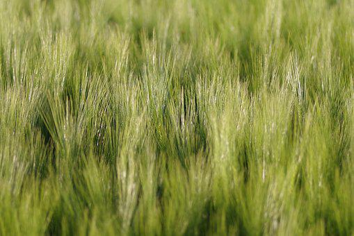 Corn, Field, Ears, The Background, Green, Agriculture
