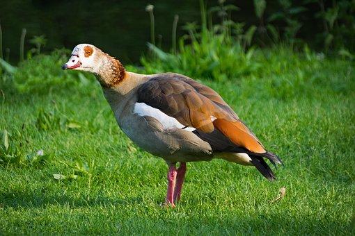 Nilgans, Alopochen Egypt, Goose, Bird, Birds, Animals