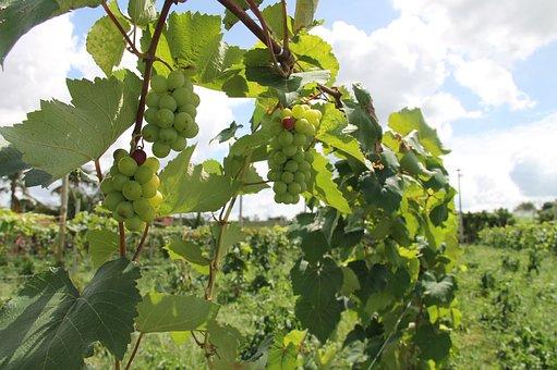 Uva, Vineyard, Seedlings, Backcountry