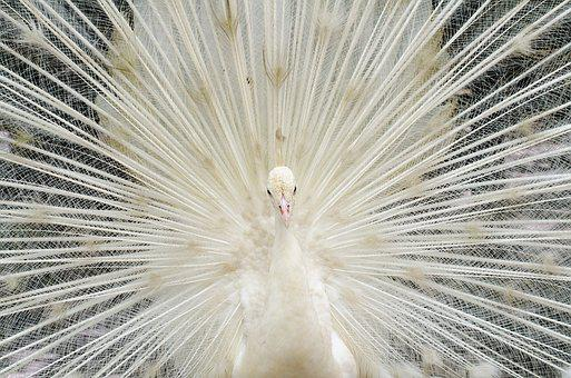 Beautiful White Feather Peacock, Bird, Zoo