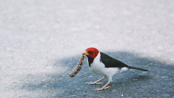Bird, Prey, Red Headed Wood Pecker, Wood Pecker, Worm
