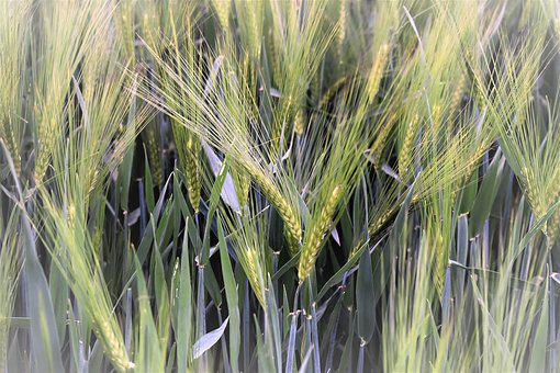 Wheat, Winter Wheat, Field, Cereals, Arable