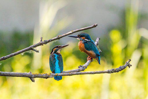 Kingfisher, Couple, Pair, Female, Males, Branch, Move