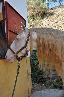 Cremello, Stallion, Spanish Horse, Special Paint Horse