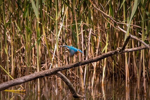 Kingfisher, Flying, Flies, Wing, In The Air, Nature