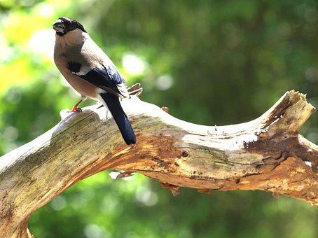 Gimpel, Female, Pyrrhula Pyrrhula, Bird, Pyrrhula