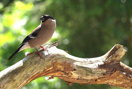 Gimpel, Female, Bird, Pyrrhula, Songbird, Nature