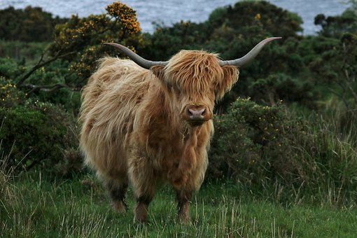 Highland Cow, Cattle, Farm, Cow, Highland, Nature