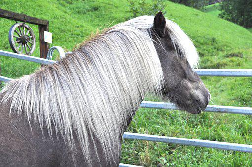 Icelanders, Wind Colors, Pony, Horse
