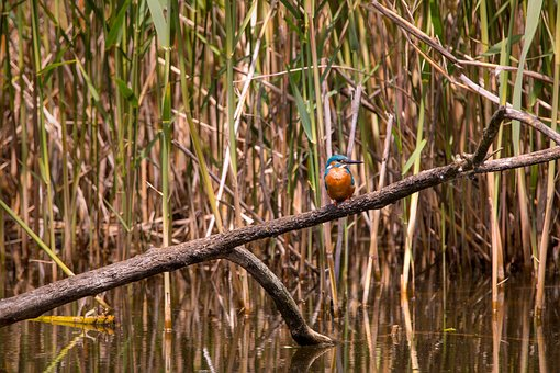Kingfisher, Nature, Branch, From The Side, Sitting
