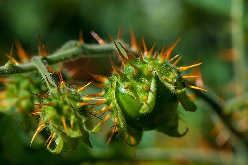 Litchi Tomato, Macro, Plant, Flower, Macro Photography