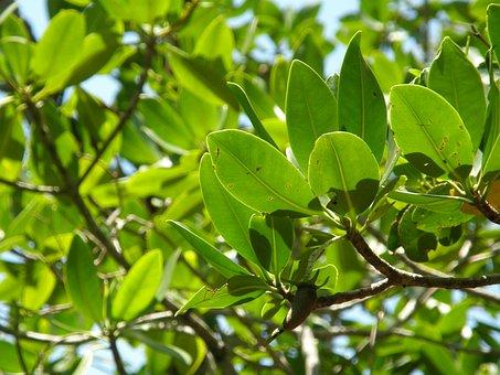 Mangrove Trees, Trees, Beach, Swamp, Forest, Mangrove