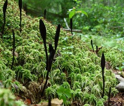 Black Club Fungus, Trichoglossum Hirsutum, Mushroom