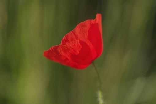 Poppy, Red, Flower, Single, Horizontally, Plant, Nature