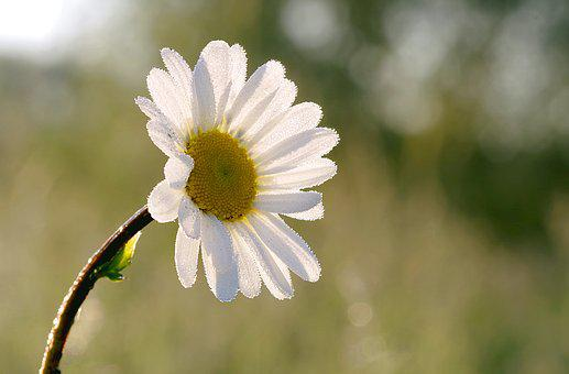 Daisy, Flower, Yellow, White, The Petals, Rosa, Drops