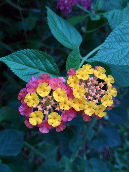 Flowers, Blooms, Kantutay, Lantana, Shrub, Plants