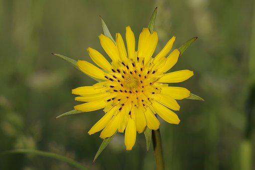 Flower, Yellow, The Petals, Sharp, Single, Green, Grass