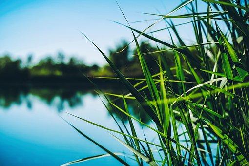 Reed, Lake, Water, Nature, Landscape, Sky, Summer, Blue