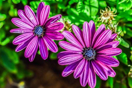 African Daisy, Osteospermum, Daisybush, Flower, Purple