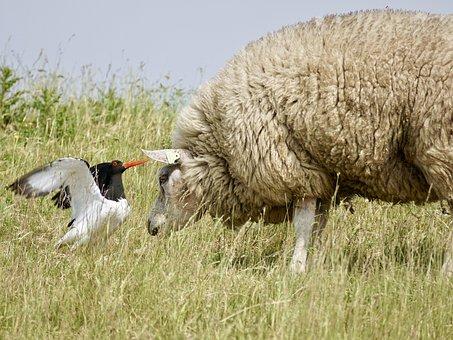 Sheep, Oystercatcher, Bird, Black And White, Red Beak