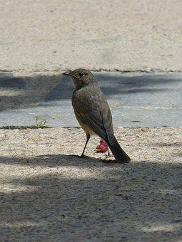 Black Redstart-management, Smoked, Smoked Cotxa, Bird