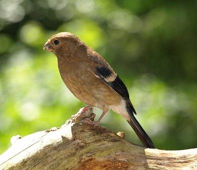 Gimpel, Bullfinch, Blood Fink, Young Bird