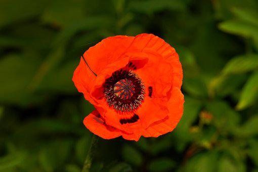 Poppy, Blossom, Bloom, Red Poppy, Red, Flower, Garden