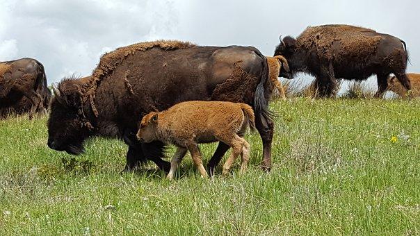 Buffalo, Baby Animal, Grazing, Wild, Wildlife, Cute