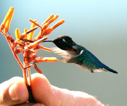 Cuba, Bird, Hummingbird, Caribbean, Tropical, Nature