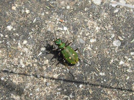 Cicidella, Cicidella Campestris, Insect, Beetle