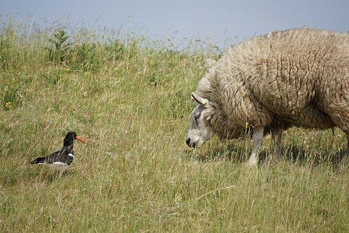 Sheep, Oystercatcher, Bird, Wool, Concerns, Grass