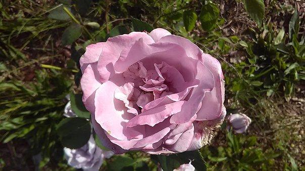 Rose, Lavender, Flower, Natural, Aromatherapy, Pink