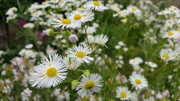 Flowers, Flower, Aster, Nature, White Blossom, Daisy