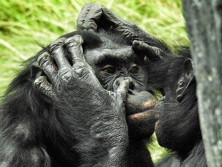 Bonobo, San Diego Zoo, Mammal, Ape, Primate, Grooming